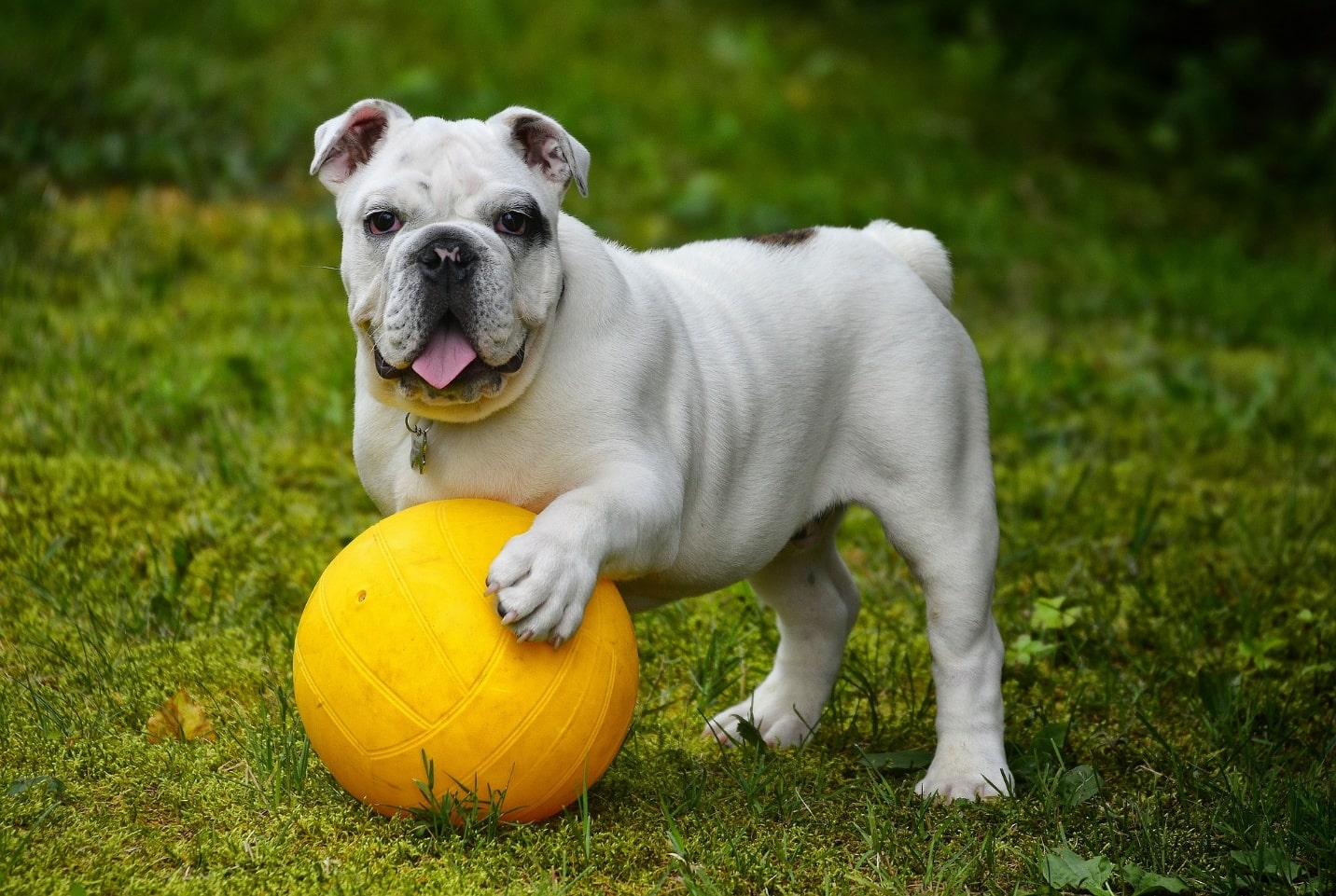 Guide To The Easy-Going Dog Breed